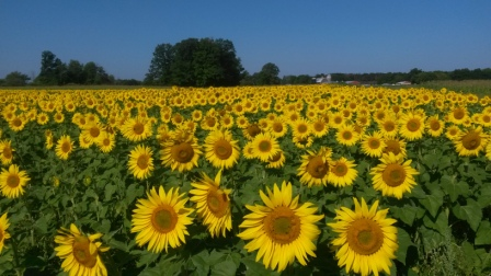 Treasured_haven_farm_sunflower_fields_2014_comp